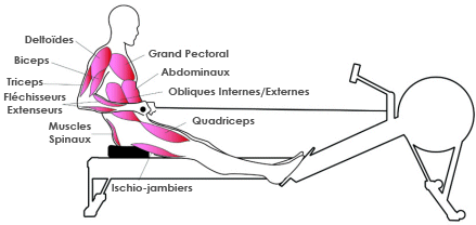 rameur quadriceps